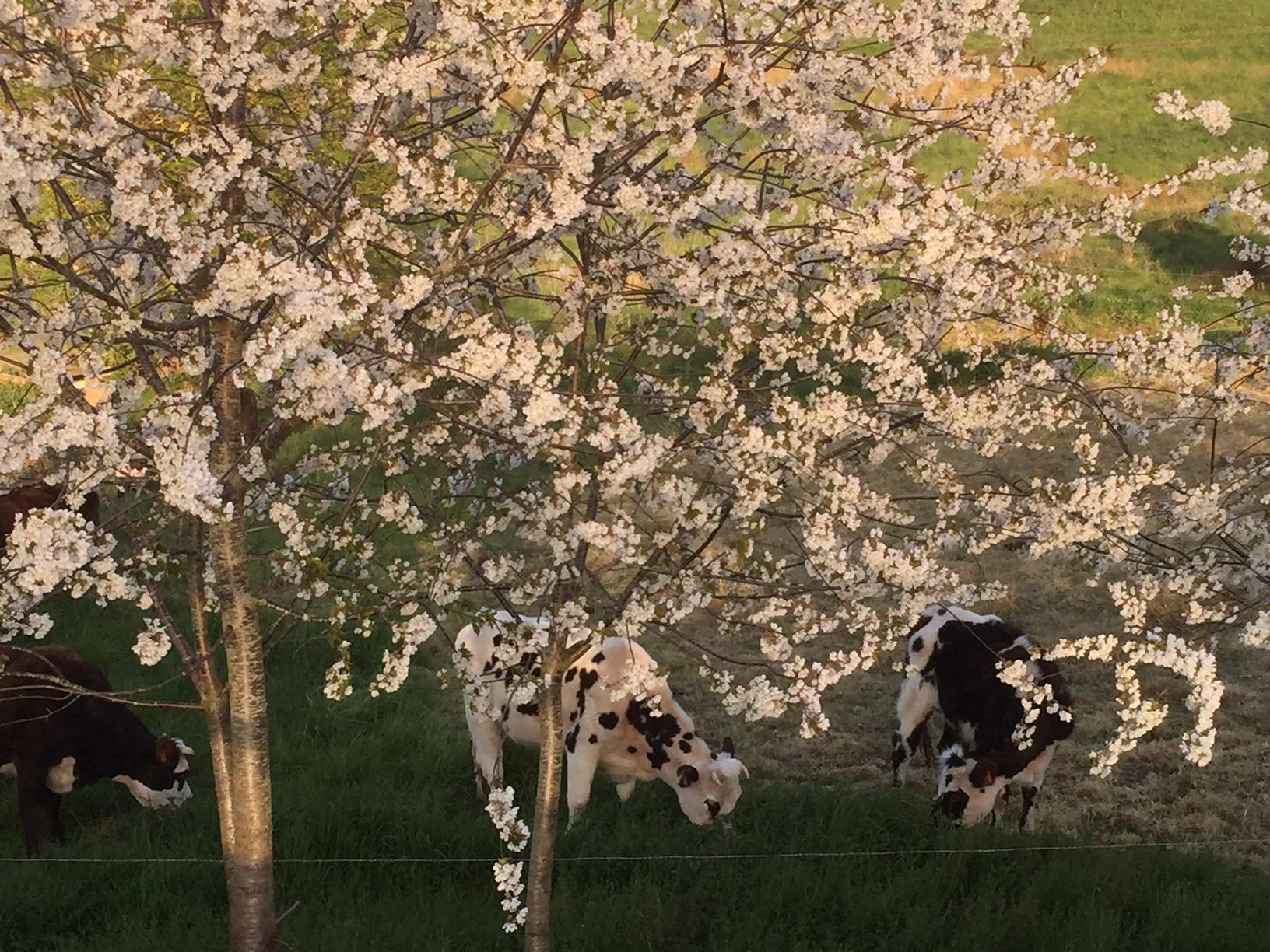 Vaches en fleurs - Florence ROQUIER